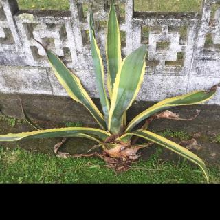 Agave plants 1 large